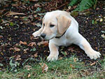 A previous Duckmasters Labs puppy.