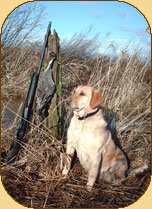 Peanut is an excellent retriever and a great compainion in the blind.